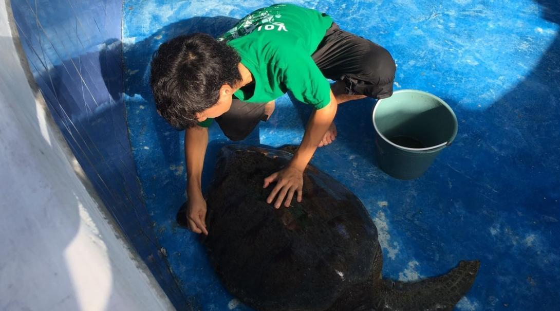 A volunteer cleans a sea turtle in Mexsico on a project for teenagers